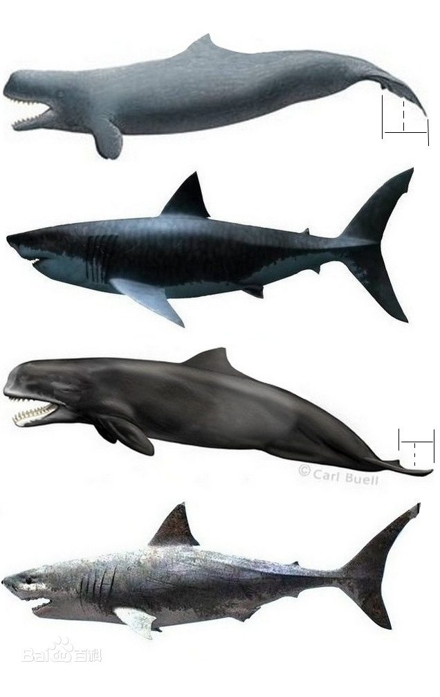 Megalodon Size Compared To Blue Whale | www.imgkid.com ...