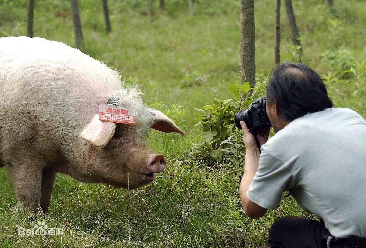 猪坚强图片 百度百科