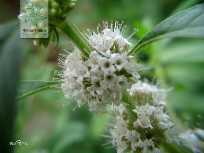 薄荷--原植物