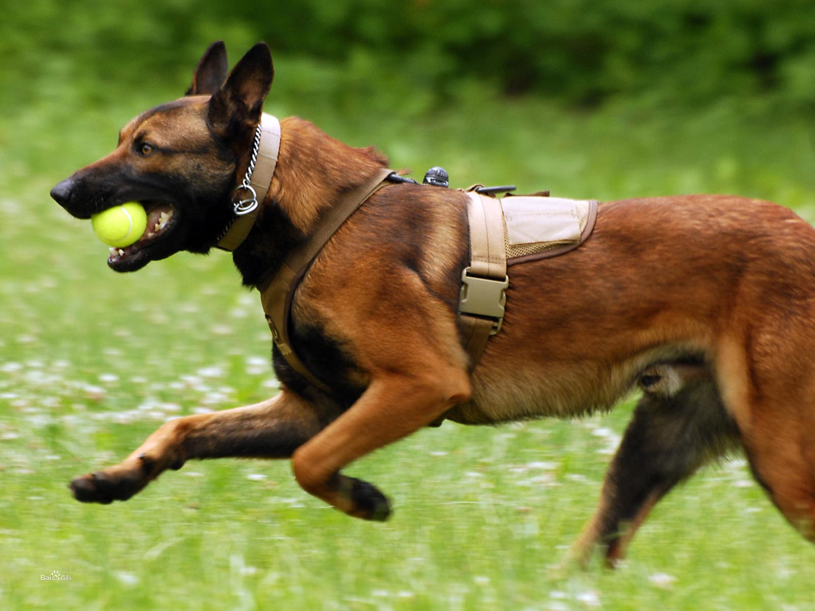 Police Attack Dog Breeds