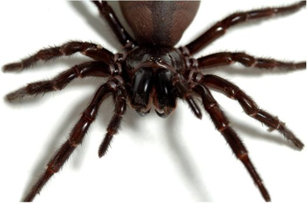 Spiders - Latest news updates, pictures, video, reaction Pictures of black spiders