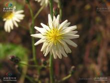 翅果菊属植物