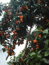 蜜广蜜桔种植园