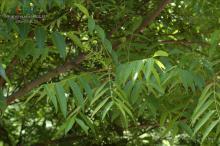 樗叶植物形态-臭椿