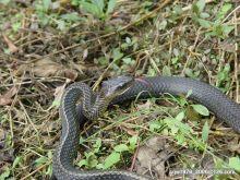 乌梢蛇属图册