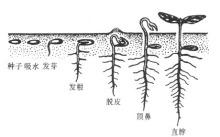 种子的生殖生长