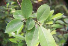 黄牛木族植物