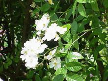 弯刺蔷薇(变种)
