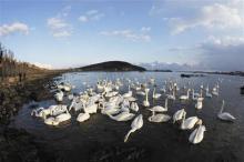 天鹅的栖息环境
