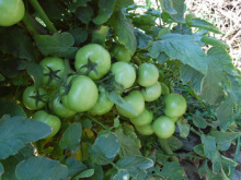 以色列2012 番茄图片