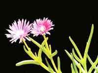 三色松叶菊