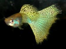 金属孔雀鱼(Guppy Metal)