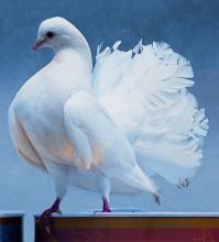 扇尾鸽图片