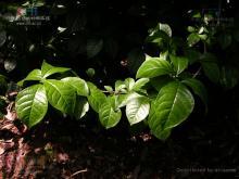 臭常山属植物