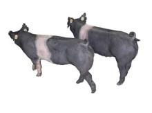 汉普夏母猪