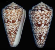 罗亚肯芋螺