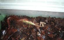 中国红巨龙蜈蚣|2|6