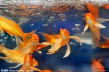 彩色玫瑰观赏鱼