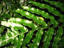 黑桫椤属植物