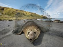 象鼻海豹形态图
