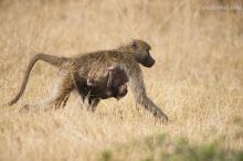 非洲鬣狗和狒狒打架