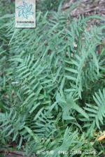 渐尖毛蕨枝叶