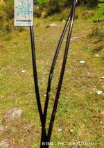 铁线蕨根茎