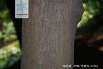 鸡爪槭根茎