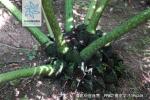 福建观音座莲根茎