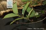 川滇桤木枝叶