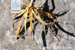 糙果紫堇根茎