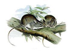 白尾巢兔鼠_百度百科