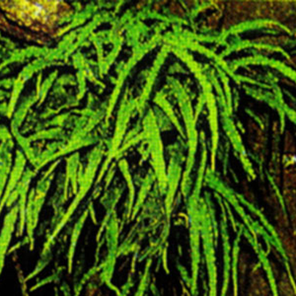壁纸 植物 蕨类 600_600图片