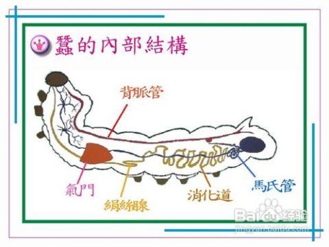 蚕宝宝怎么分公母图片