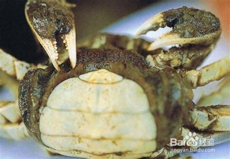 怎么识别螃蟹的公母图片
