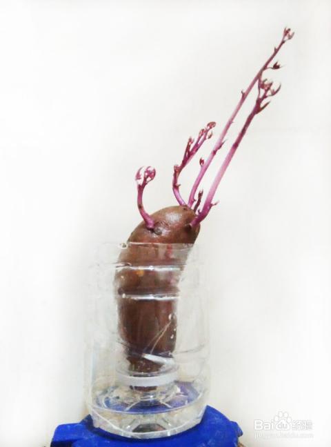 如何利用废旧矿泉水瓶水养植物--地瓜(番薯)盆栽图片