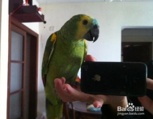 新手怎樣教會鸚鵡說話?分享下~