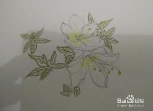 简笔画报花名 手绘铅笔画 白杜鹃花 画法