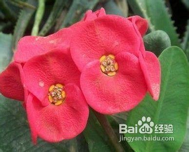 怎样种养大花虎刺梅