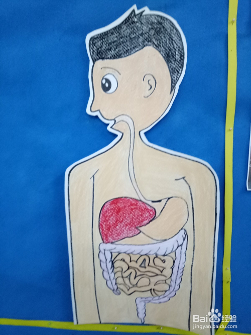 一张大纸,上面画好卡通人物的脸型,身体;胃部,心脏,大肠,小肠都画好!图片