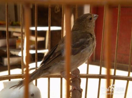 3 再有就是,公麻料鸟的外形比较好看,经过一次野外换毛后,公的青麻料