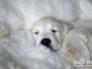 睡觉的狼狗图片