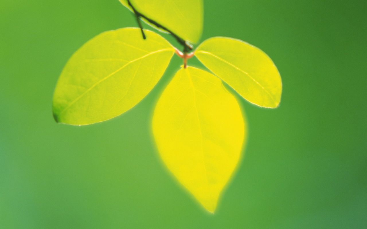 叶绿素的植物的叶子,它能利用空气中的二氧化碳 阳光图片