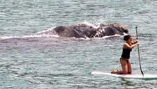 惊险一幕:实拍南非女子海上冲浪遭鲸鱼跟踪