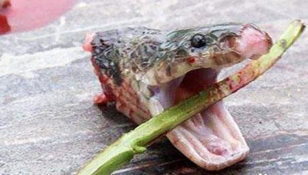 蛇头被砍下后仍咬伤女厨师