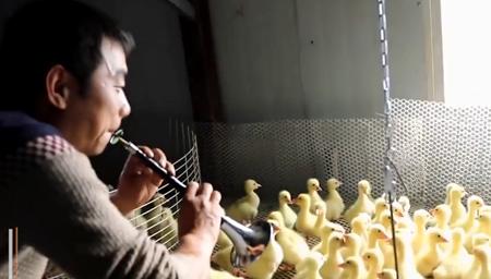 农村小伙音乐疗法养鹅
