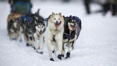 11天1000公里 奥德赛狗拉雪橇赛激战正酣