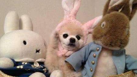 日本萌兔穿上衣服成网红