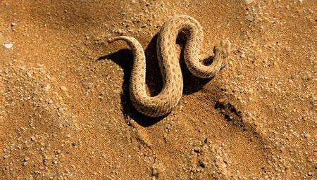 阿拉伯沙漠中 好心人通过注射器给蛇喂水