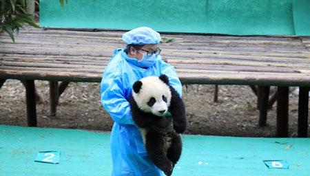 熊猫天团再亮相贺新年